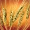 59_wheat1